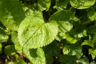 2021-05-11. Ragworth basal leaves