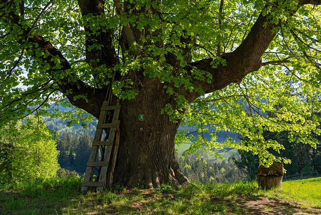 400 YEARS OLD LIME TREE