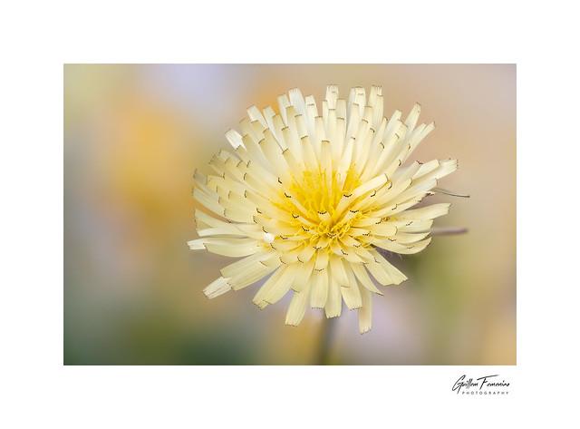 Colors of Spring (Urospermum dalechampii)