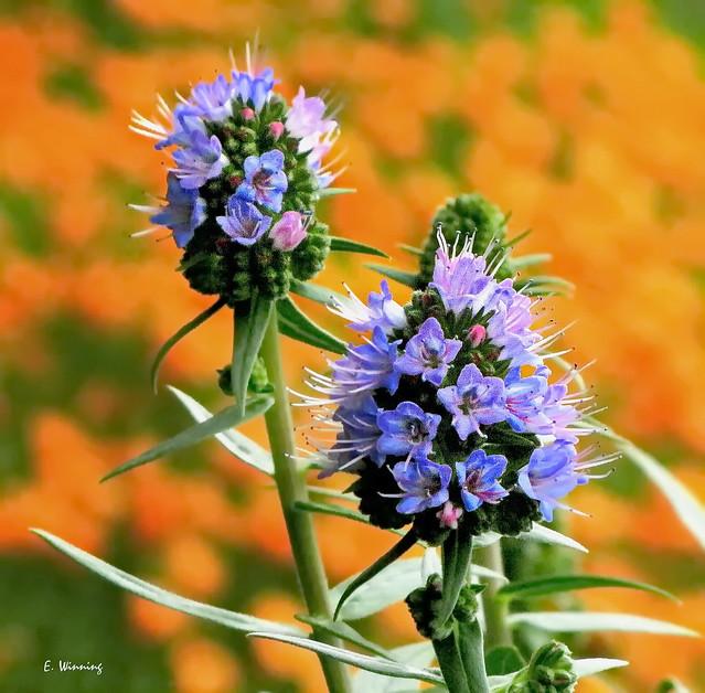Teazel in Bloom with California Poppy Field  0921
