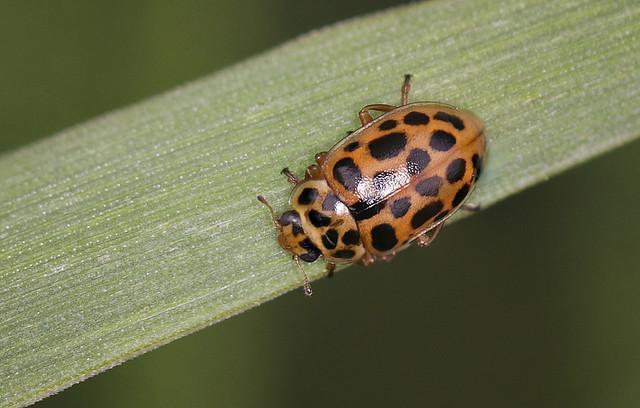 Water Ladybird - Anisosticta 19-punctata