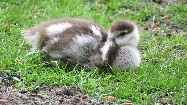 Egyptian goose gosling