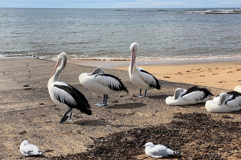 Pelicans and gulls