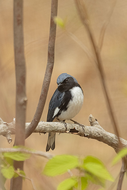 Black-throated-blue Warbler, Connecticut, 2021