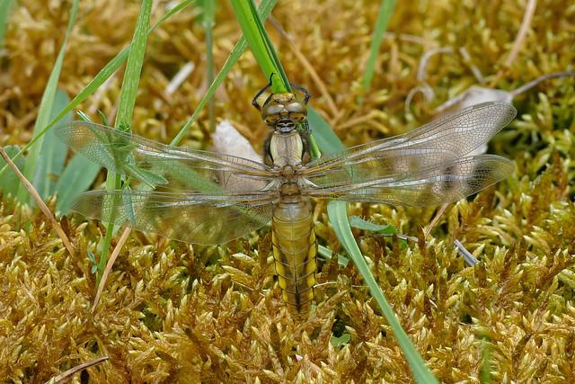 Plattbauch (Libellula depressa), frisch geschlüpftes Weibchen bei ihrem Jungfernflug