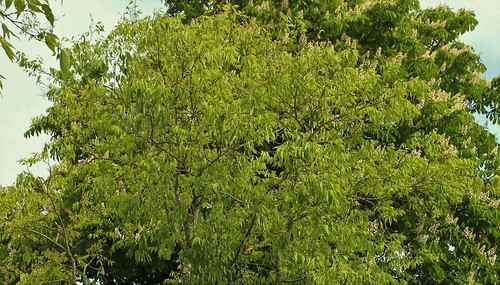 Celtis australis - micocoulier - Page 3 51172654629_d63bc4f7c1