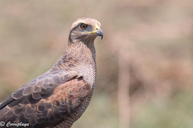 Busardo sabanero, Buteogallus meridionalis, Savanna Hawk