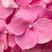 Light Pink Hydrangea, 6.27.16