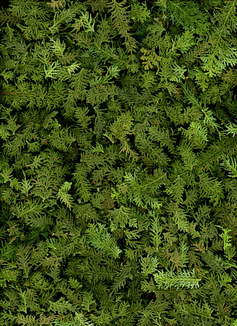 61162.01 Chamaecyparis obtusa 'Filicoides'