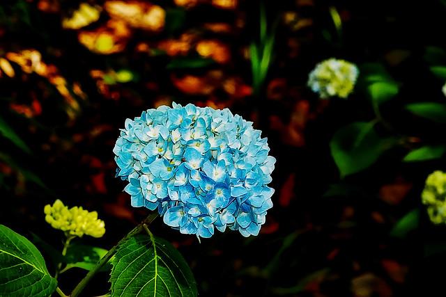 """""""Bigleaf Hydrangea ('Hydrangea macrophylla')"""""""