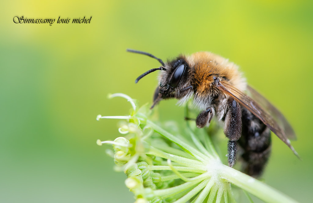 Solitary bee / Abeilles solitaire