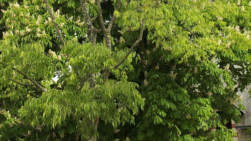 Celtis australis - micocoulier - Page 3 51172964305_e968c81523