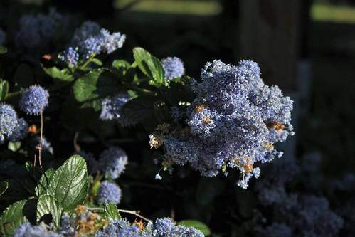 Ceanothus thyrsiflorus var. repens - céanothe à fleurs en thyrse rampant 51173027437_6f01f6c630