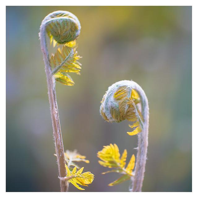 Ferns unfolding