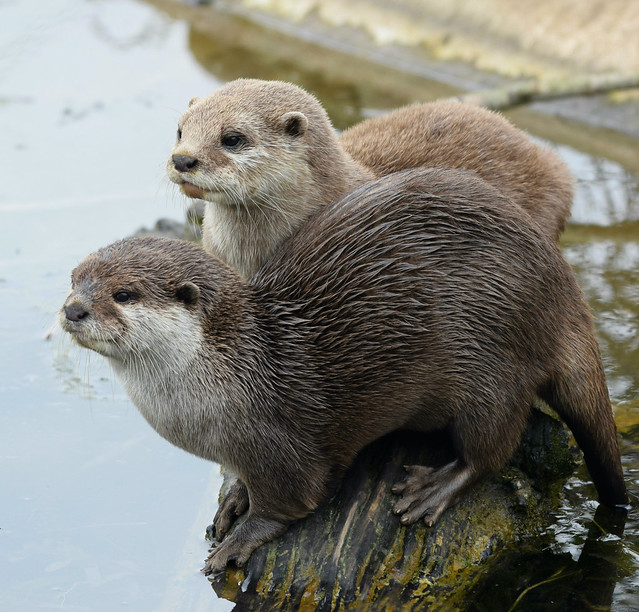 Otters # 1