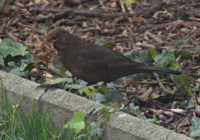 Weibliche Amsel - Female blackbird (Austria)