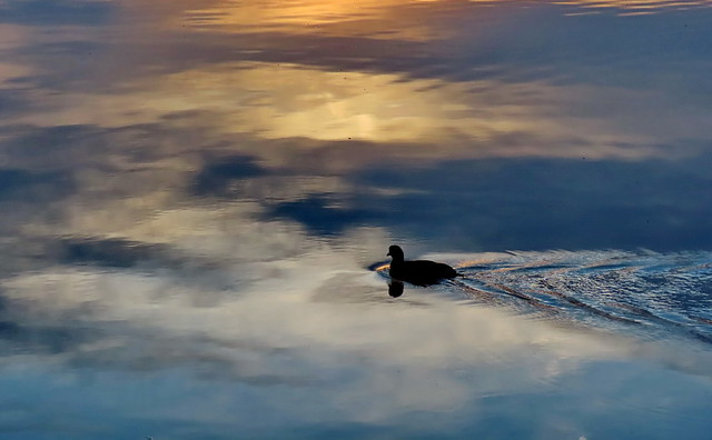 Sunset impression with coot in Dechsendorf