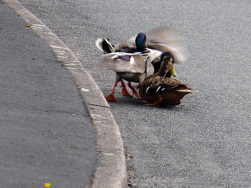 Amorous Ducks