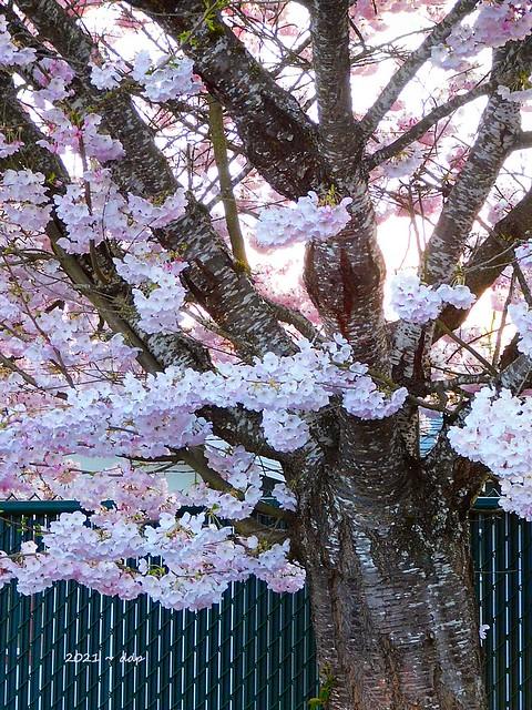 Cherry Blossom Tree & Fence