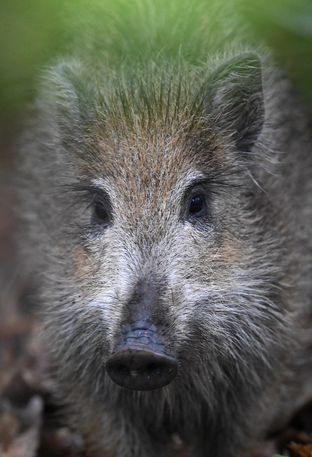 Young wild boar portrait