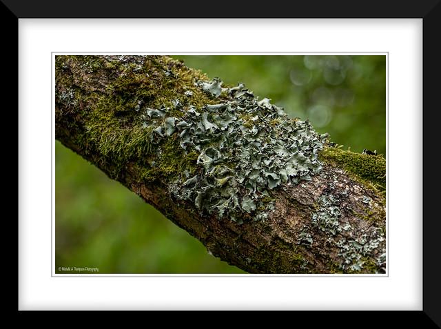 Common greenshield lichen.