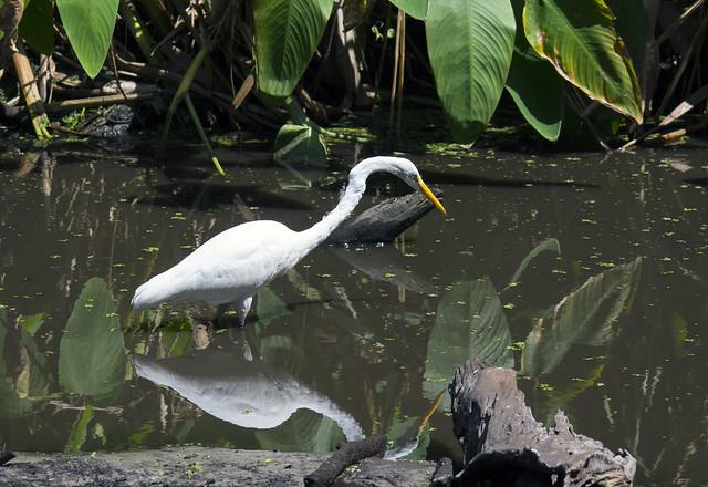 Great egret (Egretta alba) among the alligator flags, Corkscrew Swamp, Florida