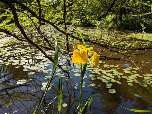 Iris by Cypress Pond