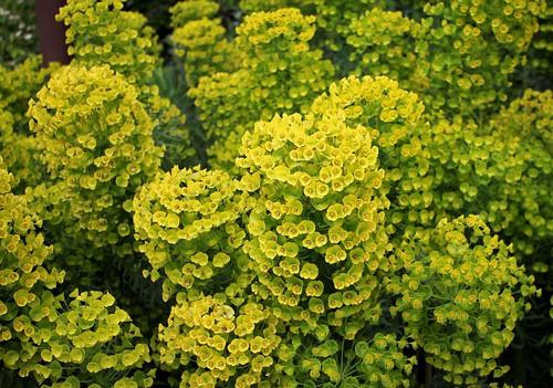 Euphorbia characias - Page 4 51173281315_e606797817