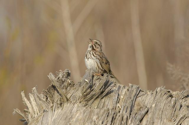 Song Sparrow | Morning Light