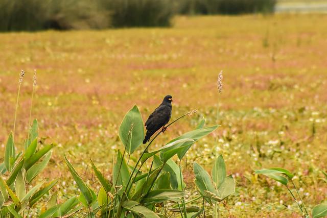 Caracolero en el medio del estero // Snail Kite in the middle of the wetland