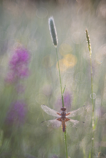 libellule déprimée femelle
