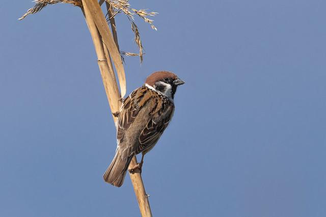 Pardal xarrec - Gorrion molinero - Eurasian tree sparrow - Moineau friquet - Passer montanus