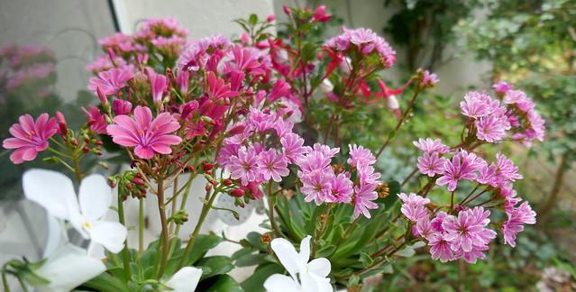 Au jardin, lewisie du Siskiyou (Lewisia cotyledon), Bosdarros, Béarn, Pyrénées Atlantiques, Nouvelle-Aquitaine, France.