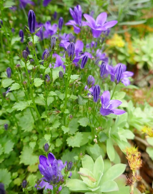Au jardin, campanule des murailles (Campanula Portenschlagiana), Bosdarros, Béarn, Pyrénées Atlantiques, Nouvelle-Aquitaine, France.