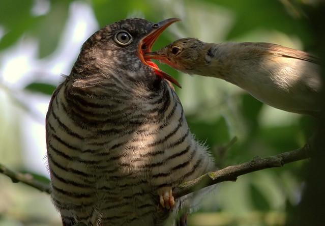 Juvenile Cuckoo and Reed Warbler