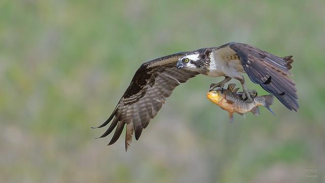 Osprey  8885