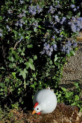 Ceanothus thyrsiflorus var. repens - céanothe à fleurs en thyrse rampant 51173695836_784bd40110