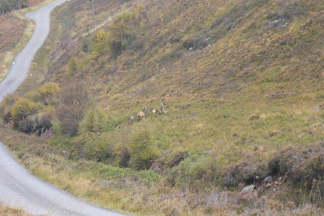 Deer beside the B869
