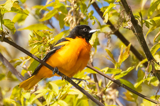 Baltimore Oriole catching bugs.