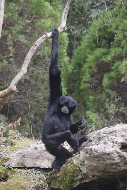 Siamang - Nashville Zoo