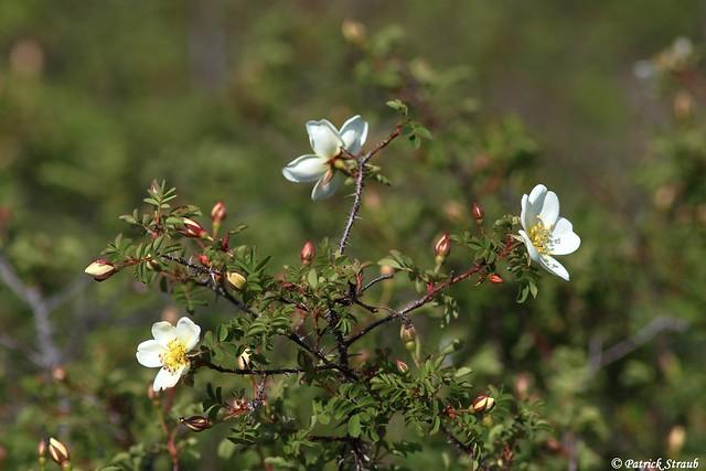 Rosier pimprenelle (fr) - Rosa pimpinellifolia (Linnaeus, 1753) - Bibernell Rose (de) - Burnet rose (en)