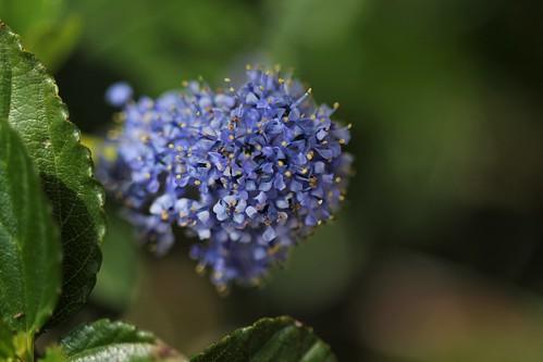 Ceanothus thyrsiflorus var. repens - céanothe à fleurs en thyrse rampant 51173926648_743a8e1f11