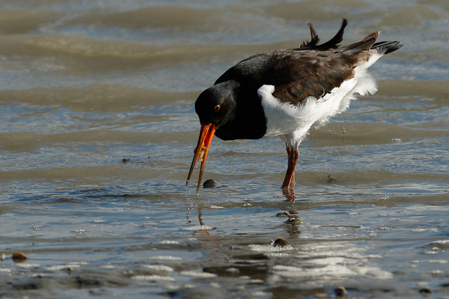 South Island Pied Oystercatcher eating cockle