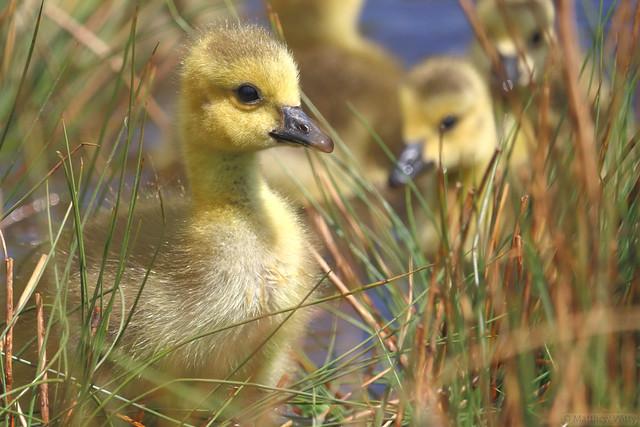 Cute Goslings