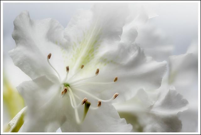 L1000062-1cR_Leica_SL2-S_Sigma70mm F2,8 DG MACRO  Art_052021_Löhnberg_Rhododendron weiß
