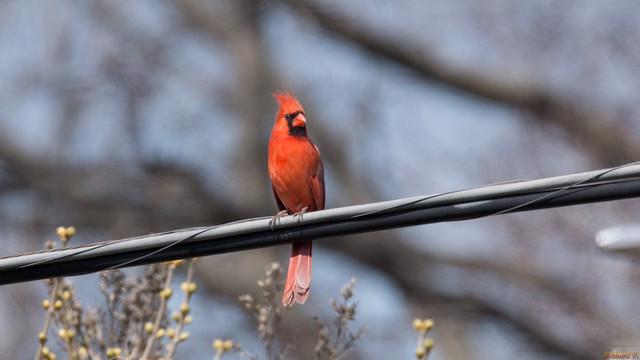 Cardinal rouge mâle - Northern Cardinal - Québec, PQ, Canada - 4322