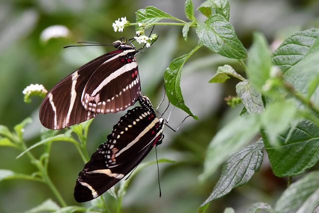 Butterflies everywhere DSC_6178