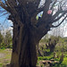 Wizened willow trunk