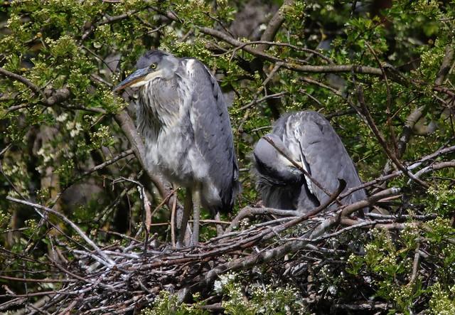 Juvenile Grey Herons (Ardea cinerea)