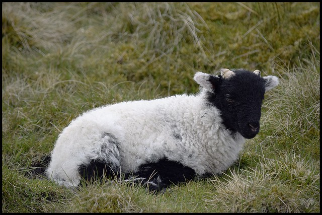 Moorland Gritstone Lamb,3 weeks old and already growing horns.
